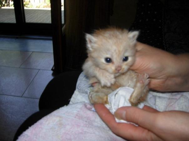 gattino arancione