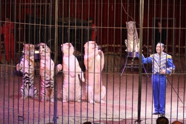 Allfred-Botour-Tigri
