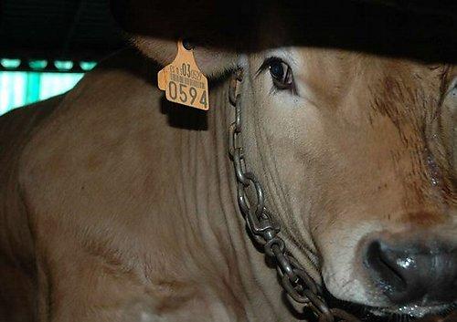 macellazione-bovini-1
