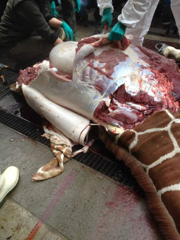 7157906-8-giraf