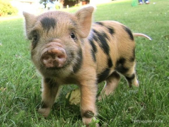 l-Pig