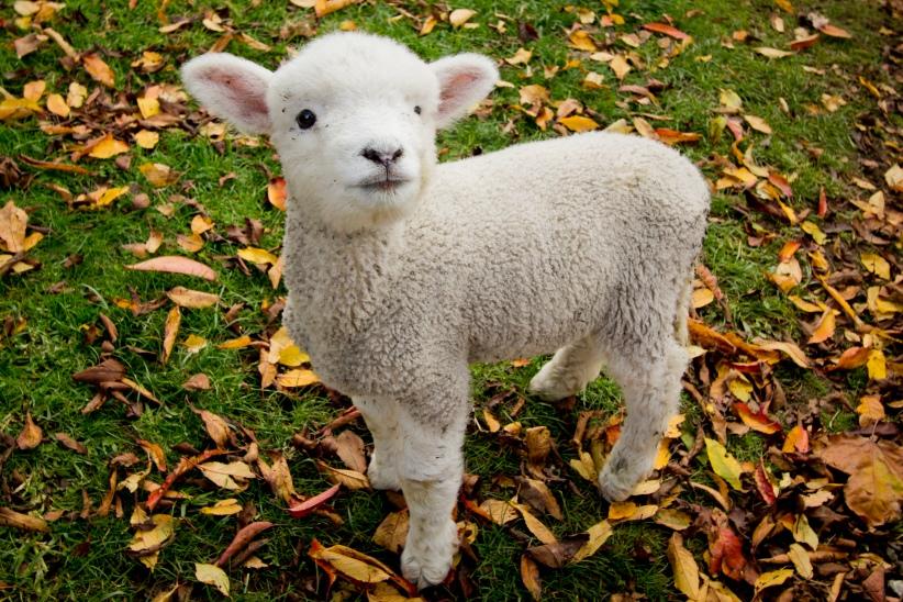 Risultati immagini per agnellini