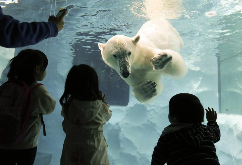 epa03621286 A polar bear approaches children as it swims at Ueno Zoo in Tokyo, Japan, 13 March 2013. The bear has been classified as a vulnerable species.  EPA/KIMIMASA MAYAMA