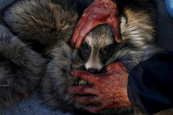 A worker holds the head of a fox while killing it with electricity for its fur at a fox farm in Nanzhuang village