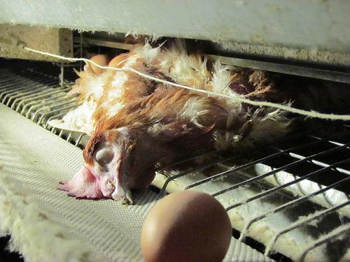 gallina morta vicino all uovo.jpg
