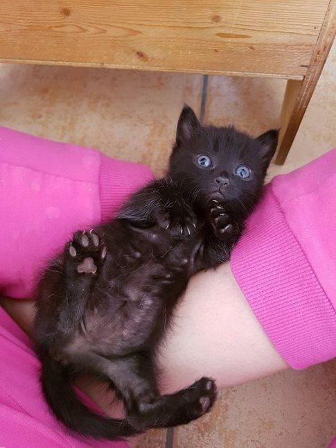 gatto nero occhi azzurri